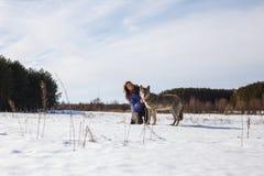 Flickan kopplas in, i utbildning av en grå varg i ett snöig och soligt fält fotografering för bildbyråer