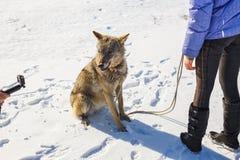 Flickan kopplas in, i utbildning av en grå varg i ett snöig och soligt fält arkivfoton
