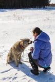 Flickan kopplas in, i utbildning av en grå varg i ett snöig och soligt fält arkivbilder