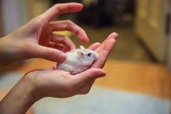 Flickan masserar den vita dvärg- hamstern för den gulliga exotiska kvinnliga vintern gömma i handflatan på händer Är den vita ham royaltyfri foto