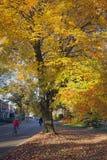 Flickan på cykeln passerar trädet för colorfullhöstlönn i driebergen Arkivfoto
