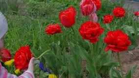 Flickan sniffar blommor Härliga röda tulpan blomstrar i trädgården lager videofilmer