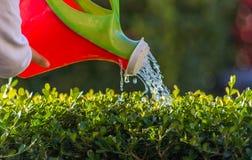 Flickan som bevattnar några växter med litet bevattna kan Handen på plast- som bevattnar kan Royaltyfri Fotografi