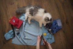 Flickan syr kläder för en katt från en gammal skjorta Royaltyfri Bild