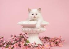 Flickenpuppebabykatze mit den blauen Augen, die über dem Rand eines Blumentopfes mit rosa Blumen auf einem rosa Hintergrund hänge Lizenzfreies Stockbild