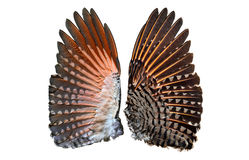 Flicker bird wings showing both under and upper wings side by side stock photography