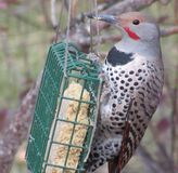 Flicker feeding Stock Photos