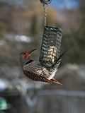 Flicker at my Feeder Royalty Free Stock Photos