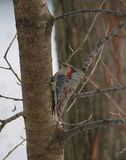 Flicker Woodpecker. My backyard visitors are several woodpeckers. This Flicker Woodpecker visits very many times in a day. For birdwatchers, the woodpecker is so Royalty Free Stock Image