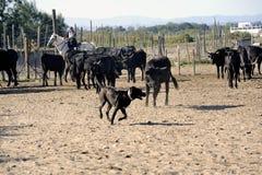 Flickor Gardians och en hund som arbetar en flock av tjurar arkivbild