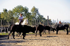 Flickor Gardians som arbetar en flock av tjurar fotografering för bildbyråer