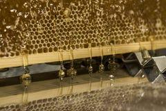 Fließen süße Honigtropfenfänger des glatten gelben goldenen Honigkammreflexionsspiegels während des Erntehintergrundes mit textsp Stockfoto