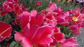 Fließenlilien Stockbild