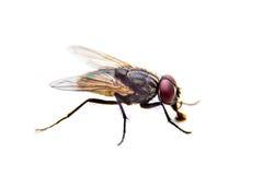 Flie на белой предпосылке конец вверх стоковое фото