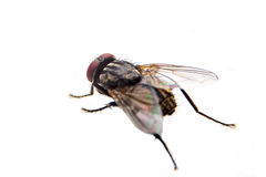 Flie  on white background. close up Royalty Free Stock Photography