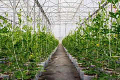 Flied watermelon in greenhouse Royalty Free Stock Photography
