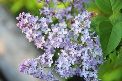 Flieder. Blume. Stockfotografie