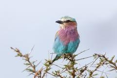 Flieder-breasted Rolle stockfoto