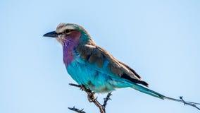 Flieder breasted Rolle, einen afrikanischen Vogel mit vielen hellen Federn lizenzfreie stockbilder