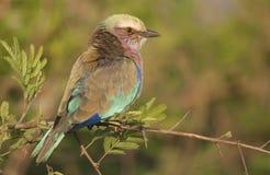 Flieder breasted Rolle in Kruger-Park stockfoto
