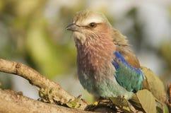 Flieder breasted Rollenporträt in Kruger-Park lizenzfreie stockfotos