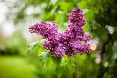 Flieder in der Blüte Stockbild