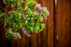 Flieder in der Blüte Lizenzfreies Stockfoto