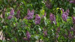 flieder Fliedern oder Spritze mit Liedern von wilden Vögeln Bunte purpurrote Fliederblüten mit grünen Blättern Gelbe Blumen, Basi stock video