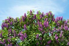 Flieder gegen blauen Himmel mit Wolken Lizenzfreie Stockbilder