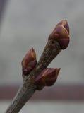 Flieder im Frühjahr, Vorläufer des Frühlinges und Hitze Stockbild