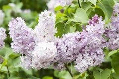 Flieder oder Syringa gemeines L Blumen Lizenzfreie Stockbilder
