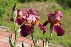 Flieder-rosa Blumen irises in der Blüte in einem Garten im Sommer unter der Sonne Stockfotos