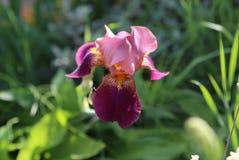 Flieder-rosa Blumen irises in der Blüte in einem Garten im Sommer unter der Sonne Stockbild