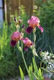 Flieder-rosa Blumen irises in der Blüte in einem Garten im Sommer unter der Sonne Stockbilder