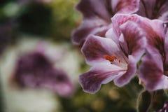 Flieder und rosafarbene Blume von Pelargonie peltatum lizenzfreie stockbilder