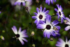 Flieder-weißer Garten Asterblume Asteraceae im Frühjahr Stockfotografie