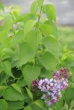 Fliederbusch Stockbild