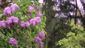 Fliederbusch in der Blüte am Frühsommermorgen stock video