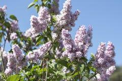 Fliederbusch an der Blütezeit gegen den blauen Himmel stockbild