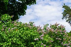 Fliederbusch und blauer Himmel an einem hellen sonnigen Tag Lizenzfreie Stockfotografie