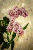 Fliedern in der Blüte Stockbilder