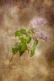 Fliedern in der Blüte Lizenzfreies Stockfoto