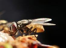 Fliege Lizenzfreie Stockfotografie