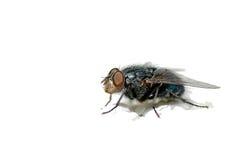 Fliege Lizenzfreies Stockbild