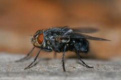 Fliege Stockfotos