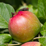 Fliege auf Apfel lizenzfreie stockfotografie