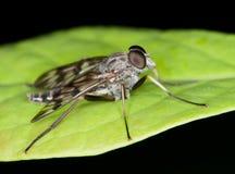 Fliege auf Blatt Stockbilder