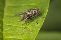 Fliege auf Blatt Stockfotos