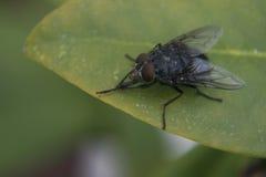 Fliege auf Blatt Stockfotografie