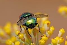 Fliege auf Blume Stockbilder